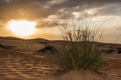 Grass growing in front of desert sunrise. Grass growing out of the send in Oman desert with sun rising in the back Stock Photo