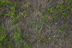 Grass growing from grass seed background 2 Stock Photo