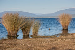 Grass growing on lake Brunner shore Royalty Free Stock Photos