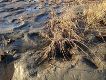 Grass Growing in Mud on Bottom of Receded River. Stock Photo