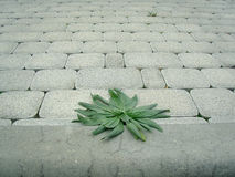 Grass growing through pavement. Power of nature royalty free stock image