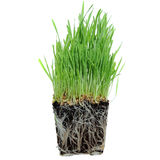 Grass growing from Roots. A macro closeup of wheat grass growing from the roots in the ground of dirt and soil Stock Image
