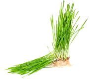 Grass growing from the roots Royalty Free Stock Photography