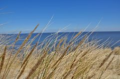Grass growing on sandy dune. Wisp of grass. Bent meadow. Sea, ocean, lake in the background. Nida stock images
