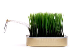 Grass growing from a sardine can Royalty Free Stock Images