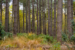 Grass growing under pine trees. Wild grass and shrubs growing under pine trees with copy space for forest nature concept background Stock Photography