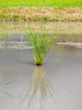 Grass grows. The grass grows in water Stock Photos