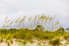 Grass  grows at the beach in Sand Stock Image