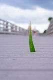 Grass grows from a boardwalk in swamp Stock Photo