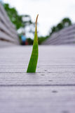 Grass grows from a boardwalk in swamp Stock Images