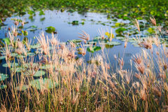 Grass grows and lotus pond. Stock Photo