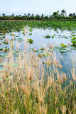 Grass grows and lotus pond. Royalty Free Stock Images