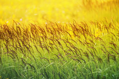 Grass grows in summer field Sunny Royalty Free Stock Photos