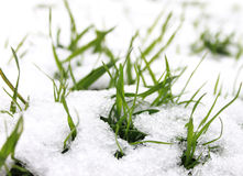 Grass in the snow. Grass grows under the snow Stock Images