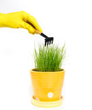 Grass in the yellow flowerpot. Grass grows in the yellow flowerpot. Female hand in yellow glove hold a small rake. Background is white Royalty Free Stock Photo
