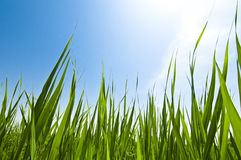 Grass, growth, blue sky Stock Images