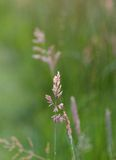 Grass halm Stock Photo