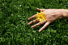Grass Hand. Hand and sunny diasy and green grass stock images