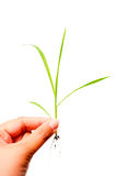 Grass in hand Royalty Free Stock Image