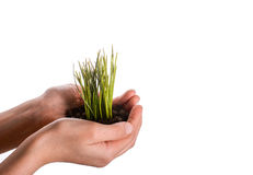 Grass in handful soil. Green grass seedling in handful soil in hand on an isolated background Stock Photos
