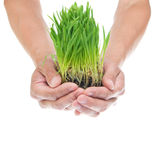 Grass in hands Stock Photo
