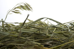 Grass hay against white background. With a copy space Stock Images