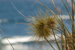 Grass head growing on sand at Ningaloo, Western Australia stock images
