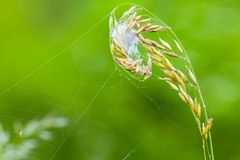 Grass on a meadow with spiderweb- closeup. Grass with a hidden spider tangled in a web.  Taken with telephoto lens 300mm f4 royalty free stock photography