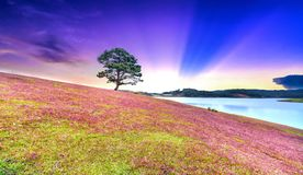 Grass hill and pine tree dawn with colorful rays light shine into sky. It`s great to see here. The combination pink tone grass create amazing things in nature royalty free stock photo