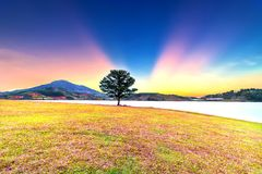 Grass hill and pine tree dawn with colorful rays light shine into sky. It`s great to see here. The combination pink tone grass create amazing things in nature royalty free stock photos