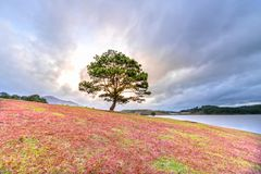 Grass hill and pine tree dawn with colorful rays light shine into sky. It`s great to see here. The combination pink tone grass create amazing things in nature royalty free stock image