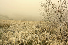 Grass hoar frosted Stock Photo