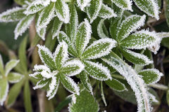Grass in hoarfrost Royalty Free Stock Photo