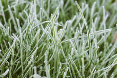 Grass in hoarfrost on a cold autumn day Stock Photography