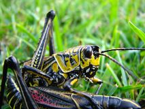 Grass hopper. Colorful pair of grass hoppers Royalty Free Stock Image