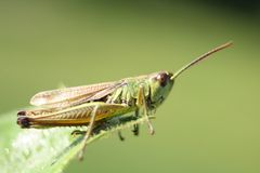 Grass hopper Royalty Free Stock Photo