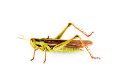Grass hopper Stock Photography