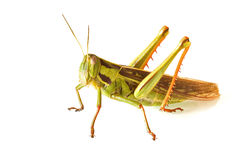 Grass hopper. Close-up of a green grass hopper against a white background royalty free stock image