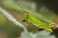 Grass hopper. Baby royalty free stock photos
