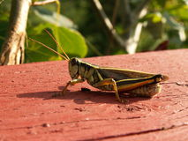 Grass hopper. A grasshoppers on a balcony Stock Image
