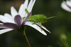 Grass hopper on African Daisy Royalty Free Stock Photo