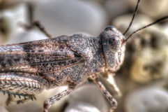 Grass hopper Royalty Free Stock Image