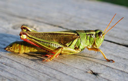 Grass Hopper Close Up Macro Stock Photos