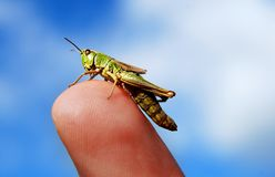 Grass hopper on finger Royalty Free Stock Photography