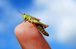 Grass hopper on finger royalty free stock photography
