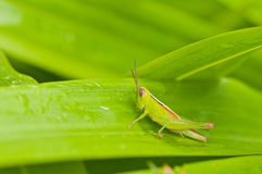 Grass hopper on green leaf Stock Image