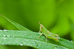a grass hopper on green leaf Stock Photos