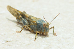 Grass Hopper Royalty Free Stock Photography