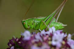 Grass hopper Royalty Free Stock Photos