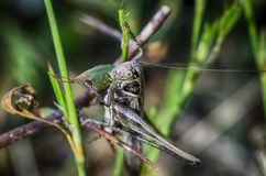 Grass Hopper Macro Royalty Free Stock Images